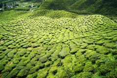Green tea plantations Cameron Highlands stock photo