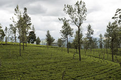 Green tea plantations. Ella, Sri Lanka. Tea plantation fields. Ella, Sri Lanka royalty free stock photo
