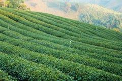 Green tea plantations Royalty Free Stock Photos