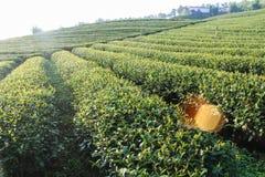 Green tea plantations Stock Image
