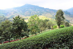 Green tea plantations royalty free stock images