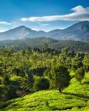 Green tea plantations in India Stock Photos