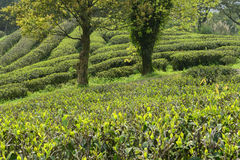 Green tea plantations in  mountain Stock Photos
