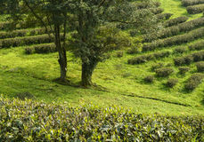 Green tea plantations in  mountain Royalty Free Stock Photos