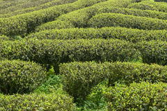 Green tea plantations in  mountain Stock Photo