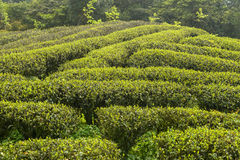 Green tea plantations in  mountain Stock Image