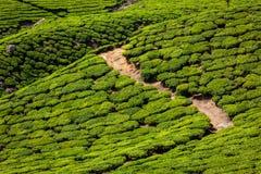 Green tea plantations in Munnar, Kerala, India Royalty Free Stock Image