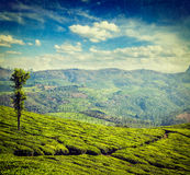 Green tea plantations in Munnar, Kerala, India Stock Images