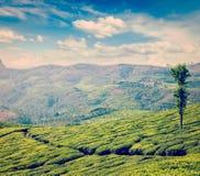 Green tea plantations in Munnar, Kerala, India Stock Image