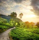 Green tea plantations Royalty Free Stock Images