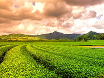 Green tea plantations Royalty Free Stock Photography