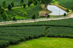 Green tea plantations in Thailand. Green tea plantations in,Chiangrai Thailand Stock Photos
