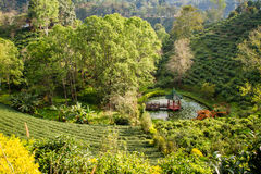 Green tea plantations in the valley of northern Thailand. Stock Photography