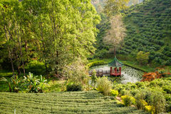 Green tea plantations in the valley of northern Thailand. Stock Image