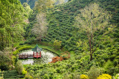 Green tea plantations in the valley of northern Thailand. Royalty Free Stock Photos