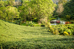 Green tea plantations in the valley of northern Thailand. Royalty Free Stock Photography