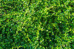 Green tea plants on top have many leaves like background. Stock Photography
