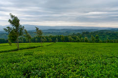 Green tea on the tea plantations. Royalty Free Stock Photography