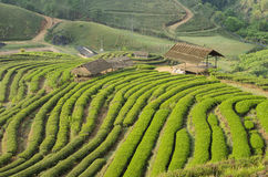 Green tea terrace beautiful. Green tea terrace in the northern of thailand is a beautiful fields for relaxation in summer the most people gone to there.it is one Stock Photos