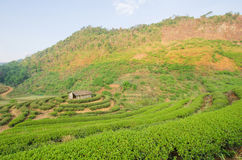 Green tea terrace beautiful. Royalty Free Stock Images