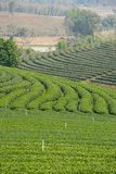 Green tea terrace texture. Chiang Rai Royalty Free Stock Photo