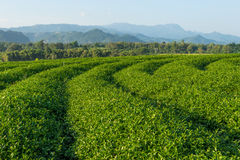 Green tea terraces on hill in Chiang Rai province, Thailand Stock Photography
