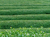 Green tea texture. Green tea field-texture Stock Photos