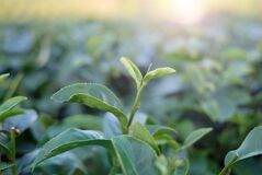 Green Tea Top