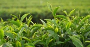 Green tea tree Flower fresh leaves in eco herbal farm. Tree tea plantations in morning sun light. Freshness herbal natural garden