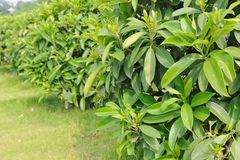 Green tea trees Stock Photos