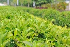 Green tea trees Stock Photos