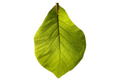 Green teak isolated. On white background Royalty Free Stock Photography