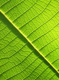 Green Teak leaf close up Stock Photography