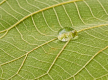 Green teak leaf and drops of water Royalty Free Stock Photos
