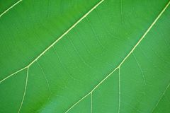 Green Teak leaf in nature garden. Fresh green Teak leaf in nature garden Royalty Free Stock Photos