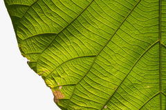 Green Teak leaf. And sunlight close up Royalty Free Stock Images