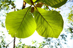 Green teak. Nature in thailand Royalty Free Stock Photo