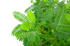 Green tender leafs of mimosa pudica Stock Photos