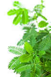 Green tender leafs of mimosa pudica Royalty Free Stock Photos
