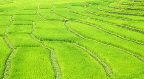 Green terrace rice fields Royalty Free Stock Photo