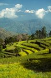 Green terraced field Stock Image