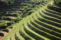 Green terraced field in sunlight Royalty Free Stock Image