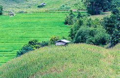 Green terraced rice and corn field on the mountain Royalty Free Stock Photos