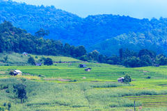 Green terraced rice and corn field on the mountain Stock Image