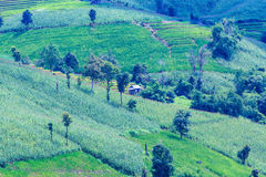 Green terraced rice and corn field on the mountain Stock Photos