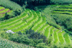 Green terraced rice and corn field on the mountain Stock Photo