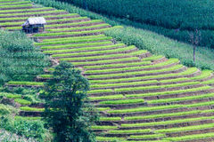 Green terraced rice and corn field on the mountain Stock Images