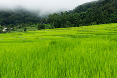 Green Terraced Rice Field Stock Image