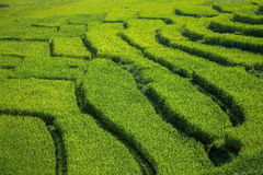 Green Terraced Rice Field Background Royalty Free Stock Image