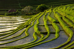 Green Terraced Rice Field in Bali, Indonesia Royalty Free Stock Images